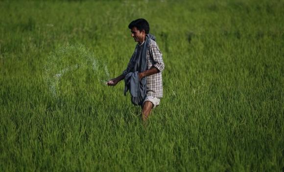 A Kashmiri farmer spreads fertiliser on a rice field on the outskirts of Srinagar June 22, 2011. REUTERS/Fayaz Kabli/Files