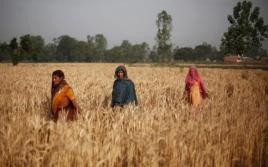 Wheat field in U.P.